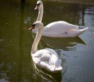 2 белых лебедя на пруде Стоковые Фотографии RF