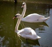 2 белых лебедя на пруде Стоковая Фотография