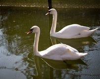 2 белых лебедя на пруде Стоковые Изображения RF