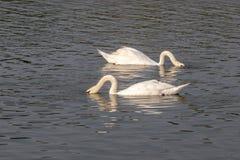 2 белых лебедя ныряя в воде Стоковое Изображение RF