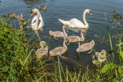 2 белых лебедя при их дети плавая в пруде Стоковое Изображение RF
