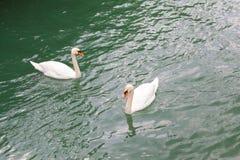 2 белых лебедя плавая в озере Стоковые Изображения