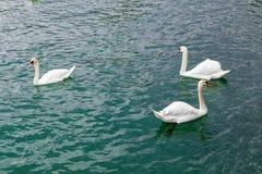 3 белых лебедя плавая в озере Стоковые Изображения
