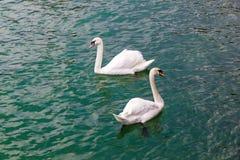 2 белых лебедя плавая в озере Стоковые Изображения RF