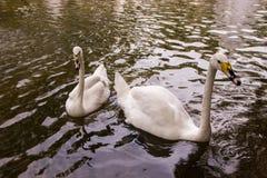 2 белых лебедя плавая в пруде с фонтаном в старом квадрате Стоковая Фотография