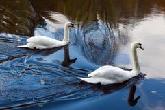 2 белых лебедя плавая на воду Стоковая Фотография RF