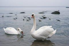 2 белых лебедя плавая на море Стоковая Фотография