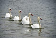4 белых лебедя плавая Стоковое Фото