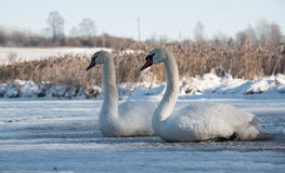 2 белых лебедя сидя на льде в зиме Стоковая Фотография RF