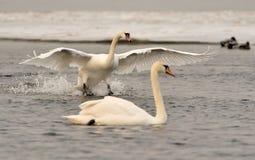 2 белых лебедя Стоковые Изображения RF