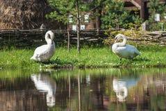 2 белых лебедя Стоковые Фото