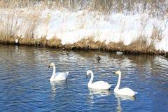 3 белых лебедя Стоковые Фотографии RF