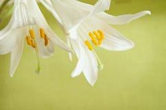2 белых лилии Стоковое Фото