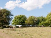 2 белых и одних коричневых овцы в ` s лета field в const essex Стоковые Изображения RF