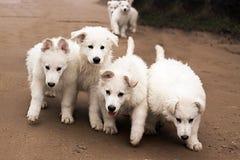 6 белых идущих щенят Стоковые Изображения