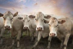 4 белых коровы Стоковые Фотографии RF