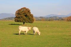 2 белых коровы Стоковые Изображения RF