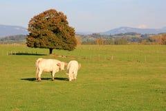 2 белых коровы Стоковое фото RF