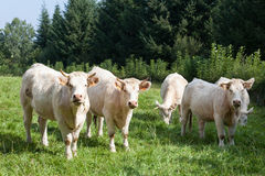 5 белых коров говядины Шароле пася в зеленом травянистом выгоне Стоковое Изображение