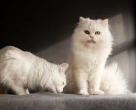 2 белых кота Стоковая Фотография