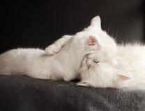 2 белых кота Стоковое Изображение RF