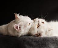2 белых кота Стоковые Фотографии RF