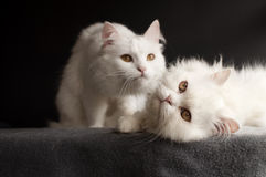 2 белых кота Стоковая Фотография RF