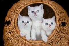 3 белых котят в камышовой корзине Стоковое Изображение