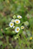 2 белых красивых стоцвета Стоковая Фотография