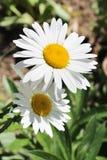 2 белых красивых camomiles Стоковое Изображение RF