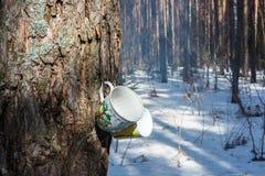 2 белых кружки чая на хоботе сосны Стоковое Фото