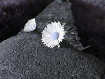 2 белых маргаритки лежа на камне на заходе солнца Италия Тоскана Художническое представление Стоковое Фото