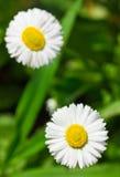 2 белых маргаритки на зеленом цвете Стоковое Фото