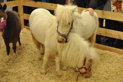 2 белых маленьких пони Стоковые Изображения RF