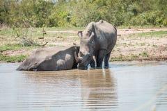 2 белых носорога в воде Стоковое Изображение
