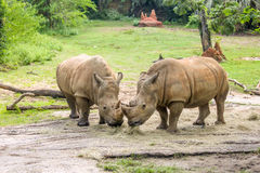 2 белых носорога есть совместно Стоковое фото RF