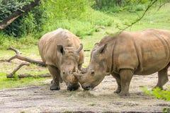 2 белых носорога есть совместно Стоковая Фотография RF
