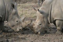 2 белых носорога нажимая один другого Стоковые Фотографии RF
