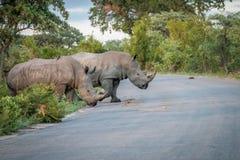 2 белых носорога пересекая дорогу Стоковая Фотография RF