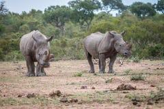 2 белых носорога стоя в грязи Стоковое фото RF