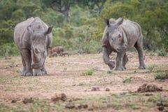 2 белых носорога стоя в грязи Стоковое Изображение