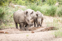 2 белых носорога стоя в песке Стоковые Изображения