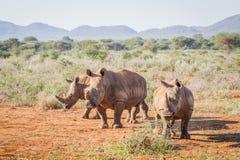 3 белых носорога стоя в песке Стоковые Изображения RF