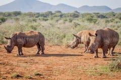 3 белых носорога стоя в песке Стоковое Изображение RF