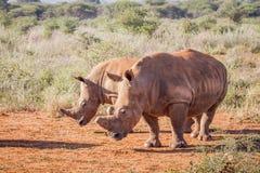2 белых носорога стоя в песке Стоковая Фотография