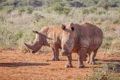 2 белых носорога стоя в песке Стоковые Фото