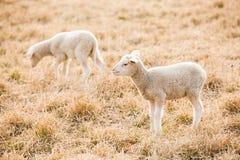 2 белых овечки подавая на выгоне Стоковая Фотография