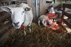 2 белых овечки под лампой жары в амбаре органической фермы в Голландии с овцой на соломе Стоковое Изображение