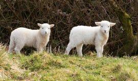 2 белых овечки Стоковые Фотографии RF