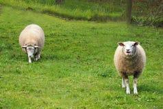 2 белых овцы на траве Стоковая Фотография